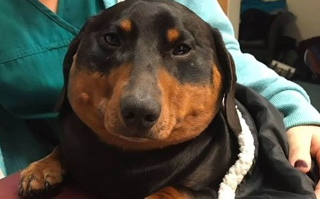 A dachshund swelled to 3 times his size and 'crackled like bubblewrap.' Surgery saved him.