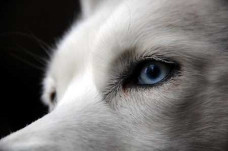 Why huskies have blue eyes: Duplication associated with blue eyes in dogs