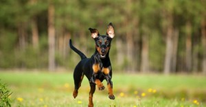 Do dogs run faster for more treats or better quality treats?